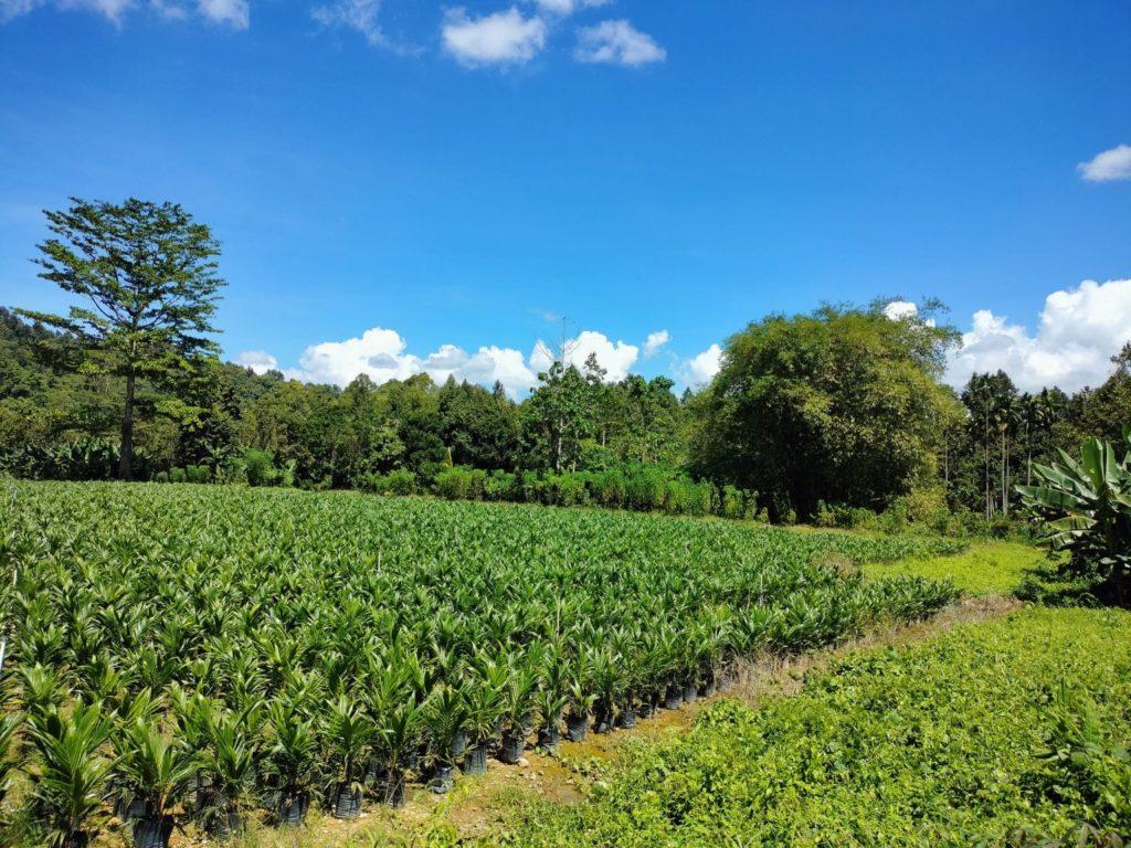 west papua forests, palm plantation