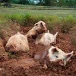 african swine fever, pigs
